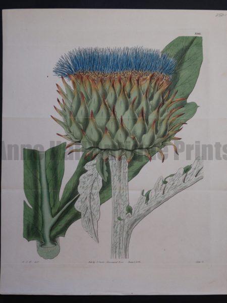 19th century artichoke watercolor