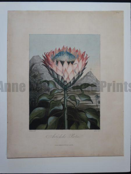Original hand colored aquatint from Dr. Thornton's Temple of Flora The subject artichoke protea.