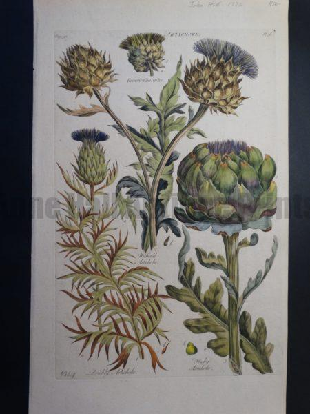 18th century watercolor artichokes by English botany and gardening artist John Hill.