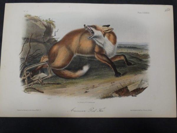 Audubon American Red Fox $250. 1855 Hand Coloured, Lithograph, J.J. Audubon, J.T. Bowen, Philadelphia.