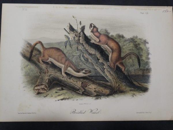Audubon Bridled Weasel $150. 1855 Hand-Coloured Lithograph J.J. Audubon J.T. Bowen, Philadelphia