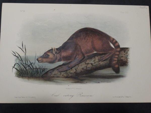 Audubon Crab-eating Raccoon $325. 1855 Hand-colored Lithograph J.W. Audubon J.T. Bowen, Philadelphia