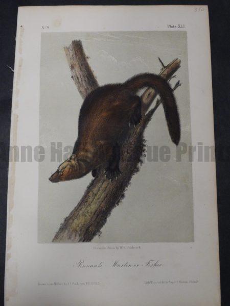 Audubon Pennant's Marten or Fisher $350. 1855 Hand-Coloured Lithograph J.J. Audubon J.T. Bowen, Philadelphia