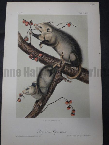 Audubon Virginia Opossum $350. 1855 Hand-colored Lithograph, J.J. Audubon J.T. Bowen, Philadelphia.