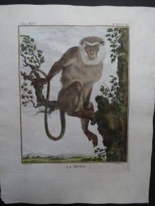 Bearded Monkey