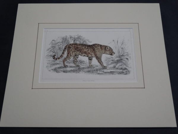 Old Big Cat Engraving 9879 (Matted)