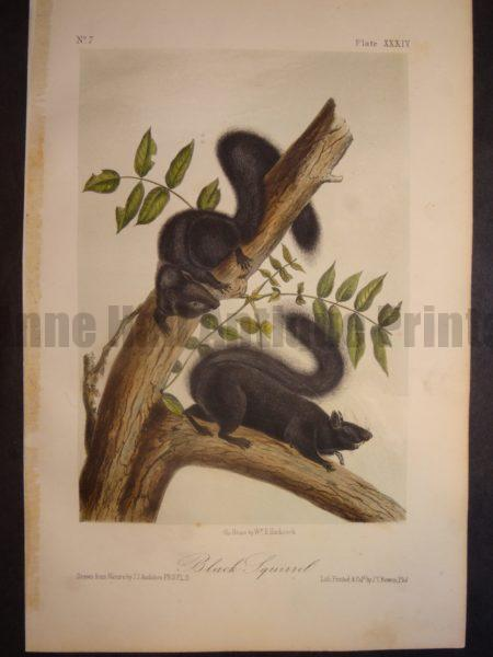 Black Squirrel Print by JJ Audubon. Published in Philadelphia 1844. Hand colored lithograph. John James Quadrupeds or Animals of North America