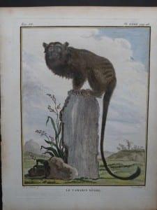 Black Tamarin Monkey
