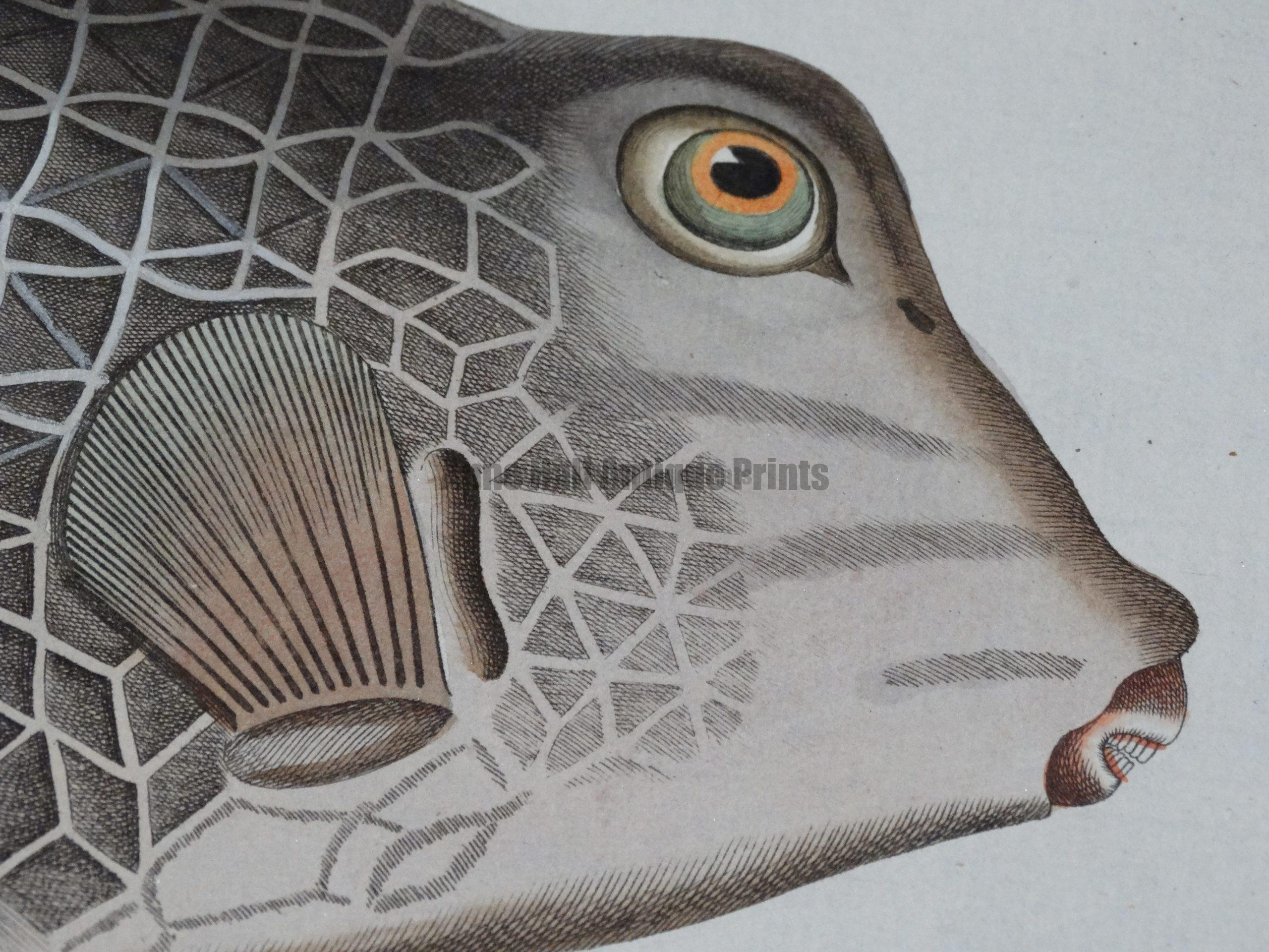 Bloch Fish 18th Century Engravings from one of the leading rare prints galleries in New England.