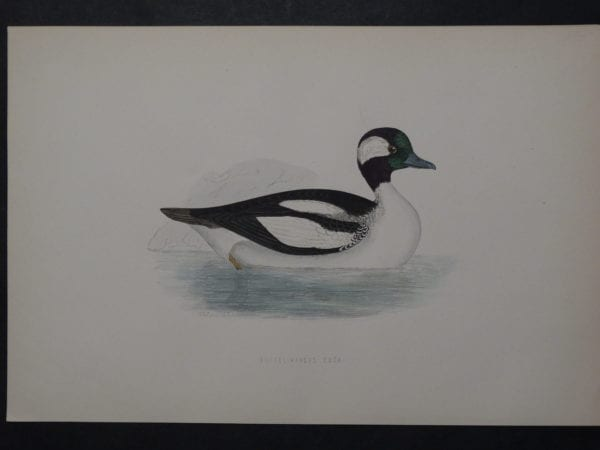 Buffel-Headed Duck, 1890. $45.
