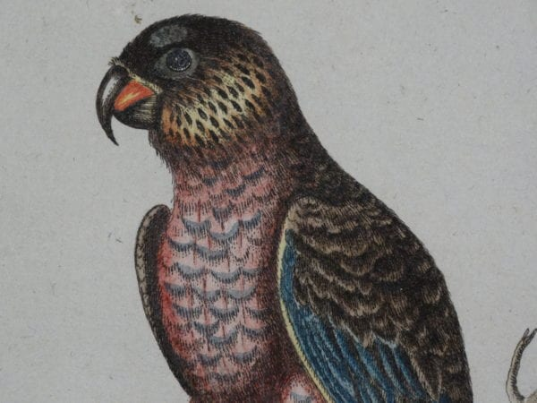 rare parrot engravings
