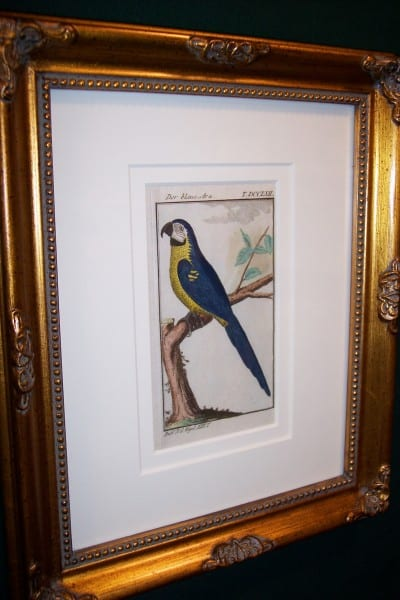 Buffon Parrot Framed Blue Macaw