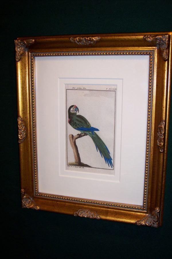 Buffon Parrot Framed Green Macaw. Der Grune Ara.