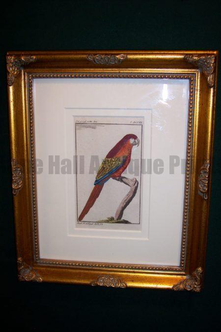 Buffon Parrot Framed Red Macaw . Der Grosse Rothe Ara.