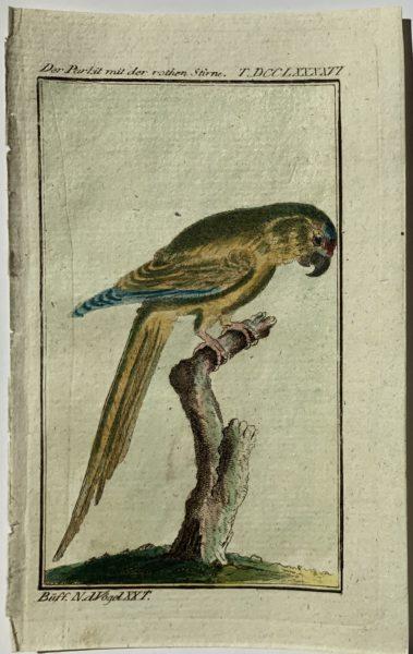 Buffon Parrot 1