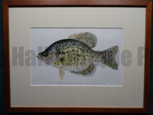Calico Bass; Strawberry Bass by Denton Framed $115. with free US shipping