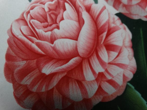 Camellias! Antique HandColored Lithographs, Engravings to buy now online