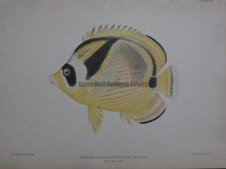 Chaetodon Lunula, 1903. $100.