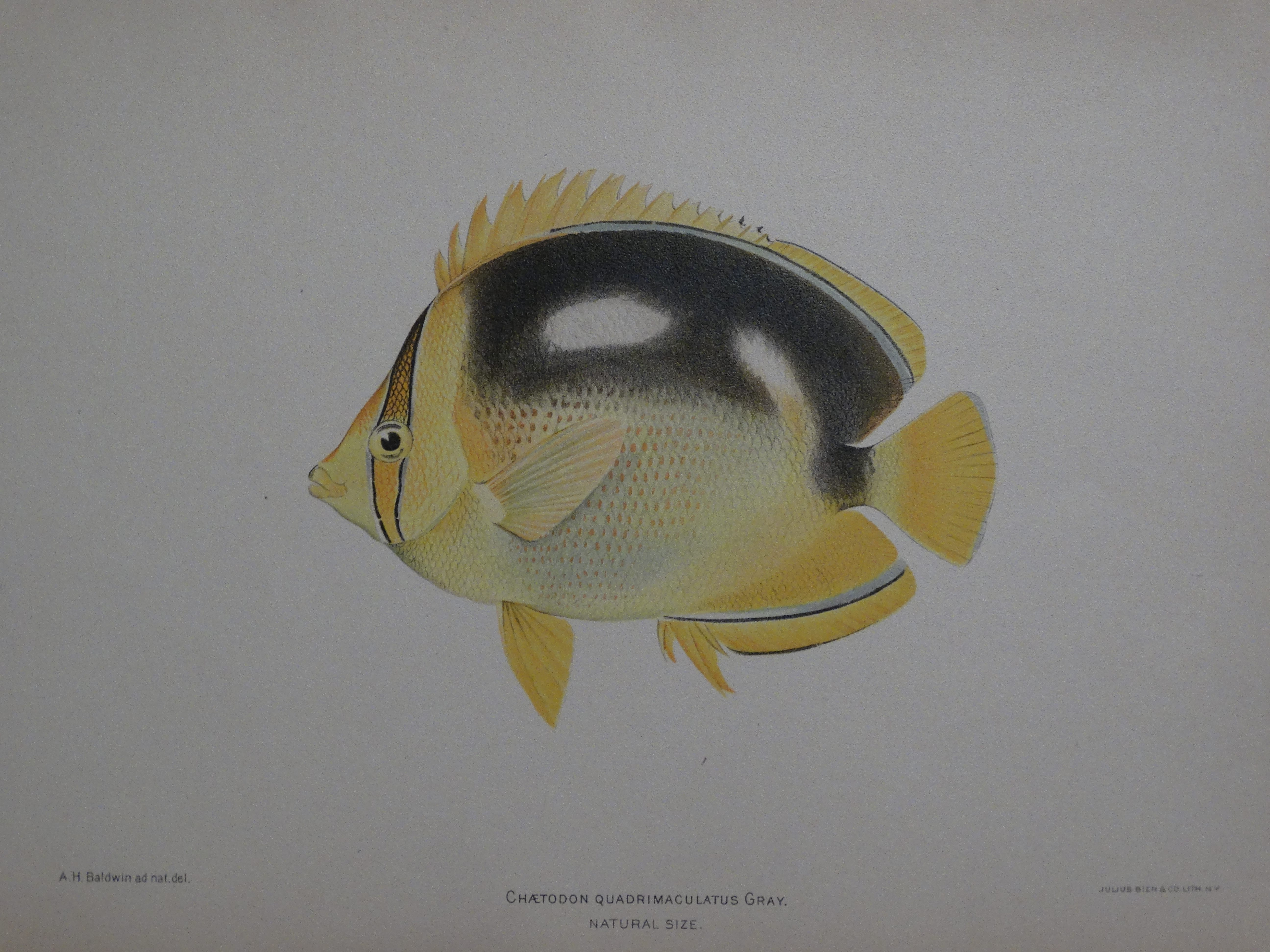 Chaetodon Quadrimaculatus Gary, 1903. $100.