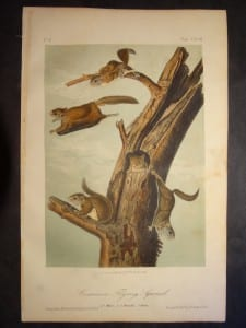 Common Flying Squirrel