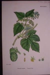 Common Hop, 1863. $35.