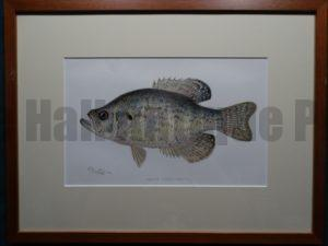 Crappie Denton Fish Print Framed $115. with free US shipping