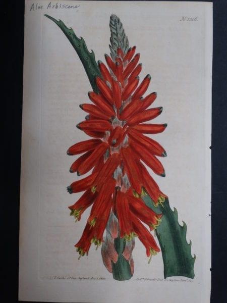 Curtis, Aloe #1306