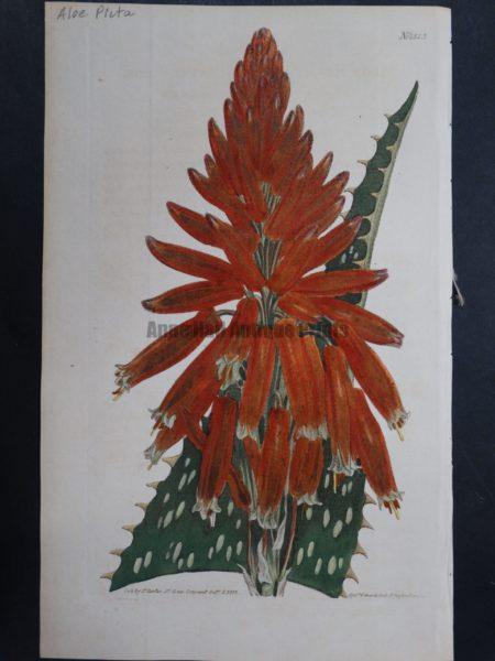 Curtis, Aloe #1323