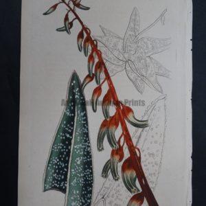 Curtis, Aloe #1331