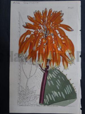 Curtis, Aloe #1346