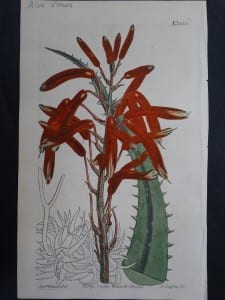 Curtis, Aloe #1355