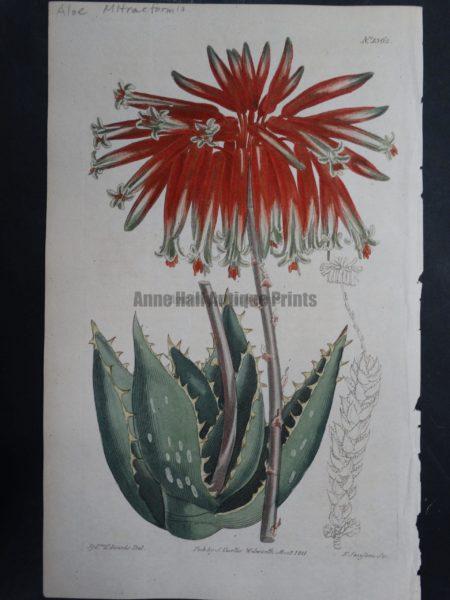 Curtis, Aloe #1362