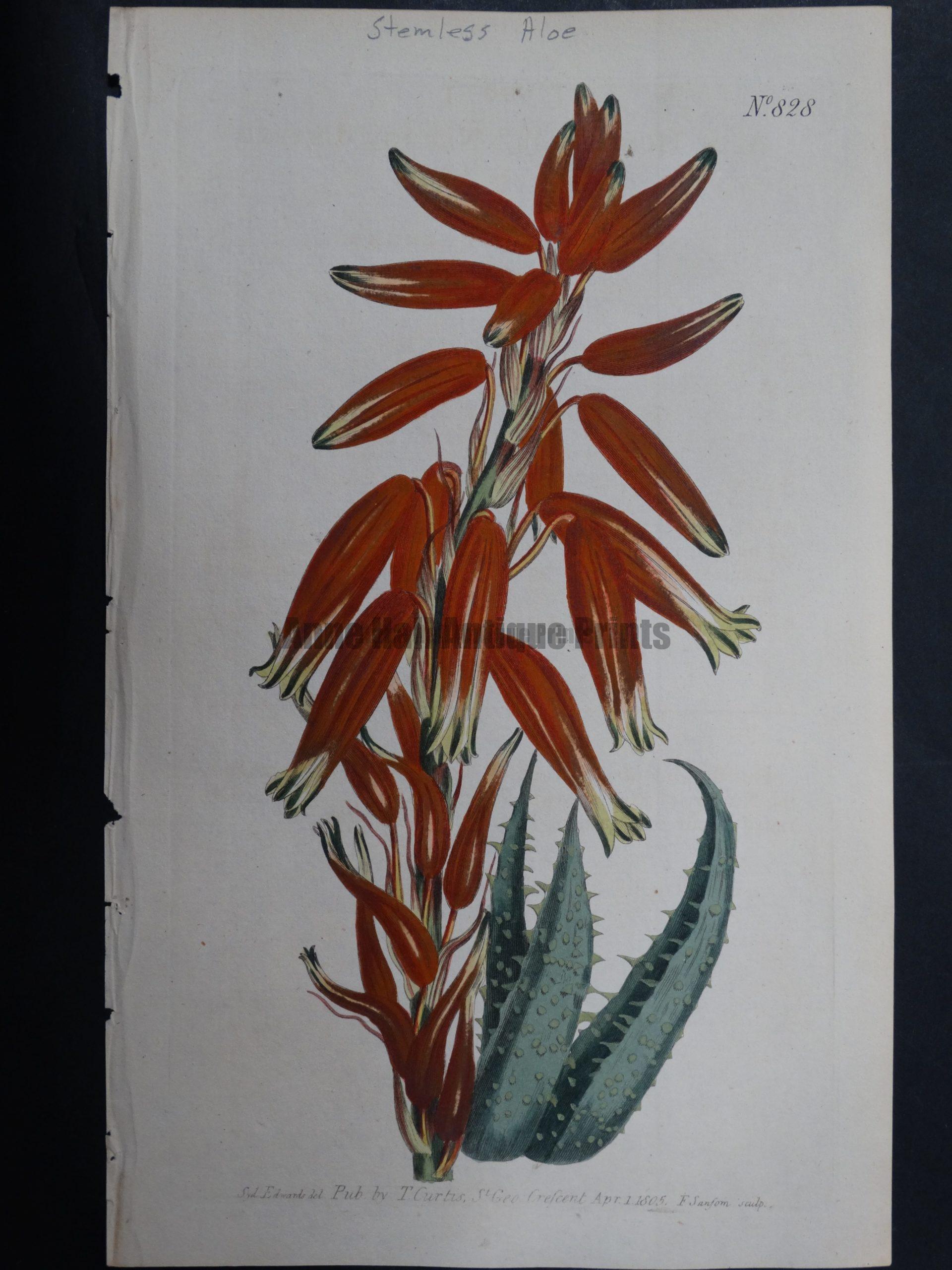 Curtis, Aloe #828