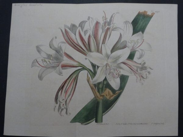 Spectacular 19th century watercolor engraving Curtis Amaryllis SL1178