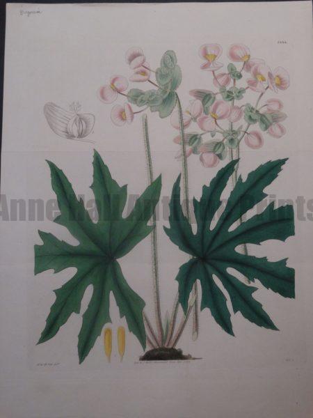 Curtis Begonia plate 3444