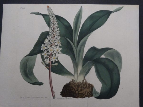 19th century engraving from the Botanical Magazine. Curtis Bulb SL918