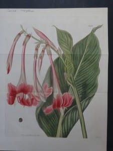 Curtis Canna Iridiflora No.1968