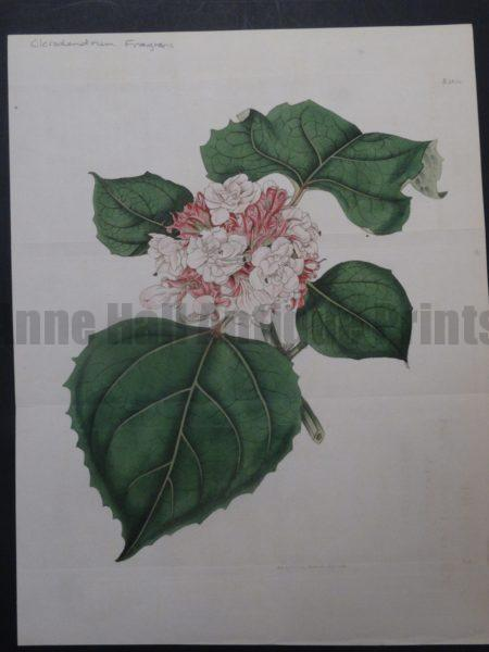 Curtis Clerendrum Fragrans Plate 1834