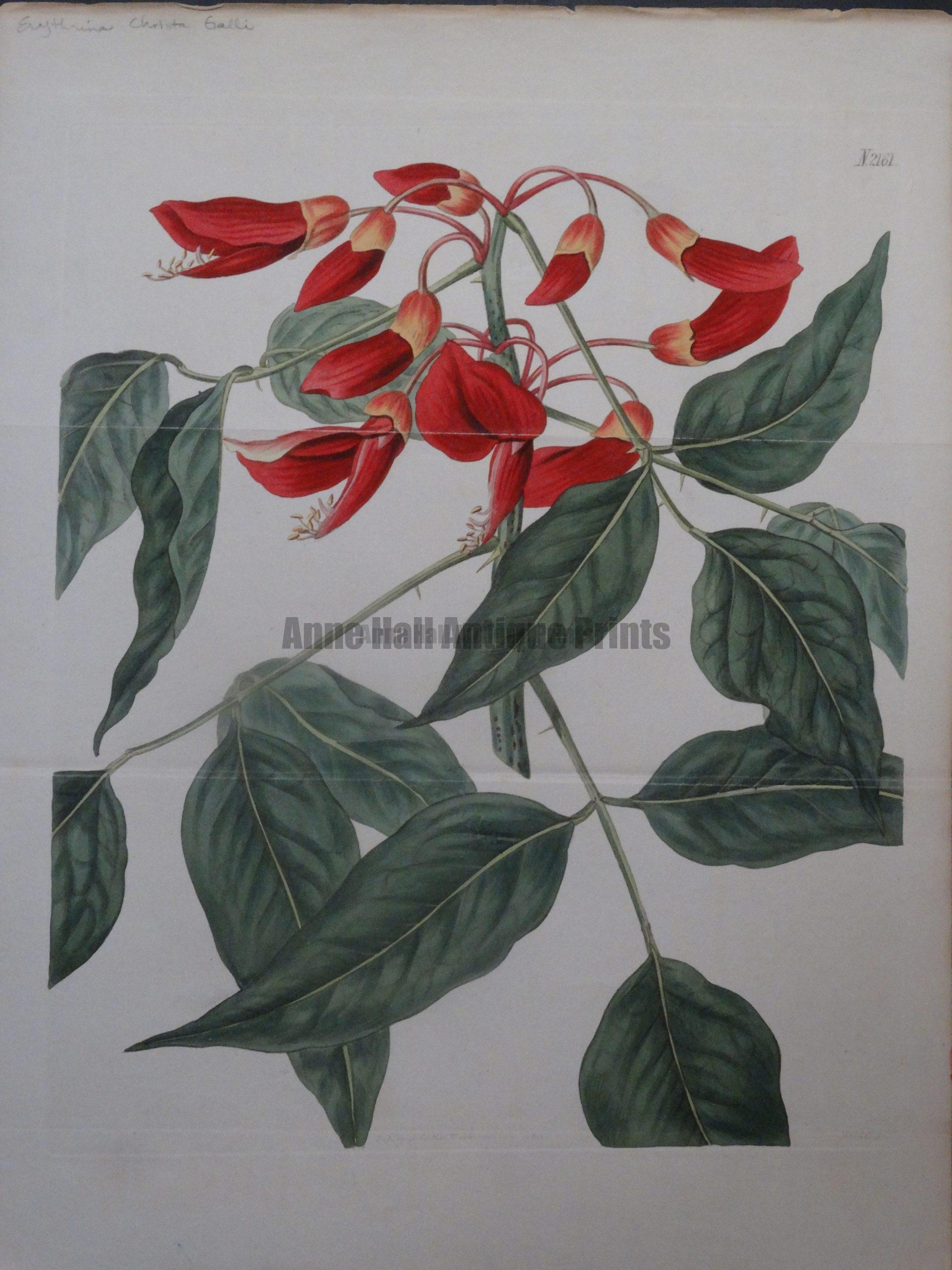 Curtis Erythrina Christa Galli Plate 2161