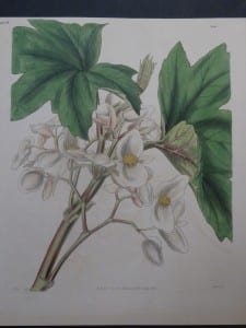 Curtis Fitch Begonia plate 3591