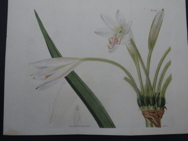 Curtis Lily SL2336