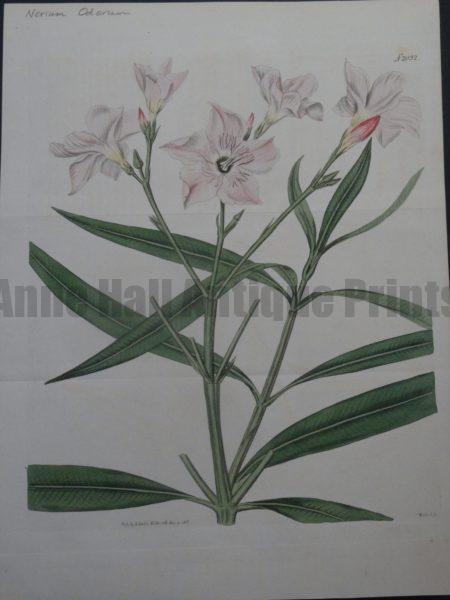 Curtis Nerium Odorum Plate 2032