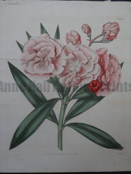 Curtis Pink Oleander Plate 1799
