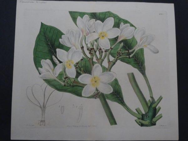 Curtis Plumeria SL480