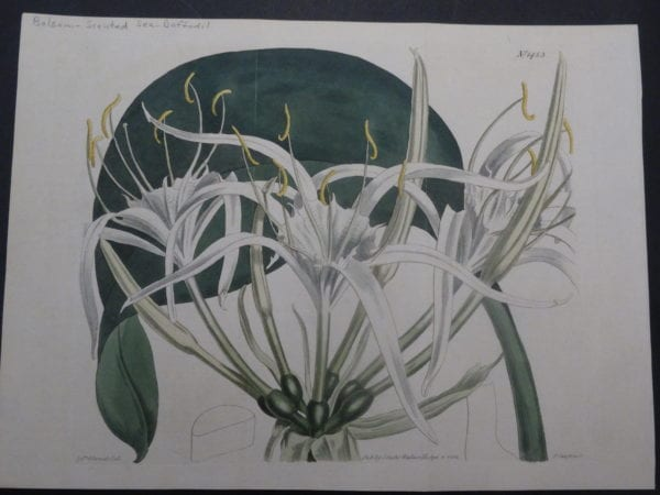 19th century engraving from the Botanical Magazine. Curtis Sea Daffodil SL1453