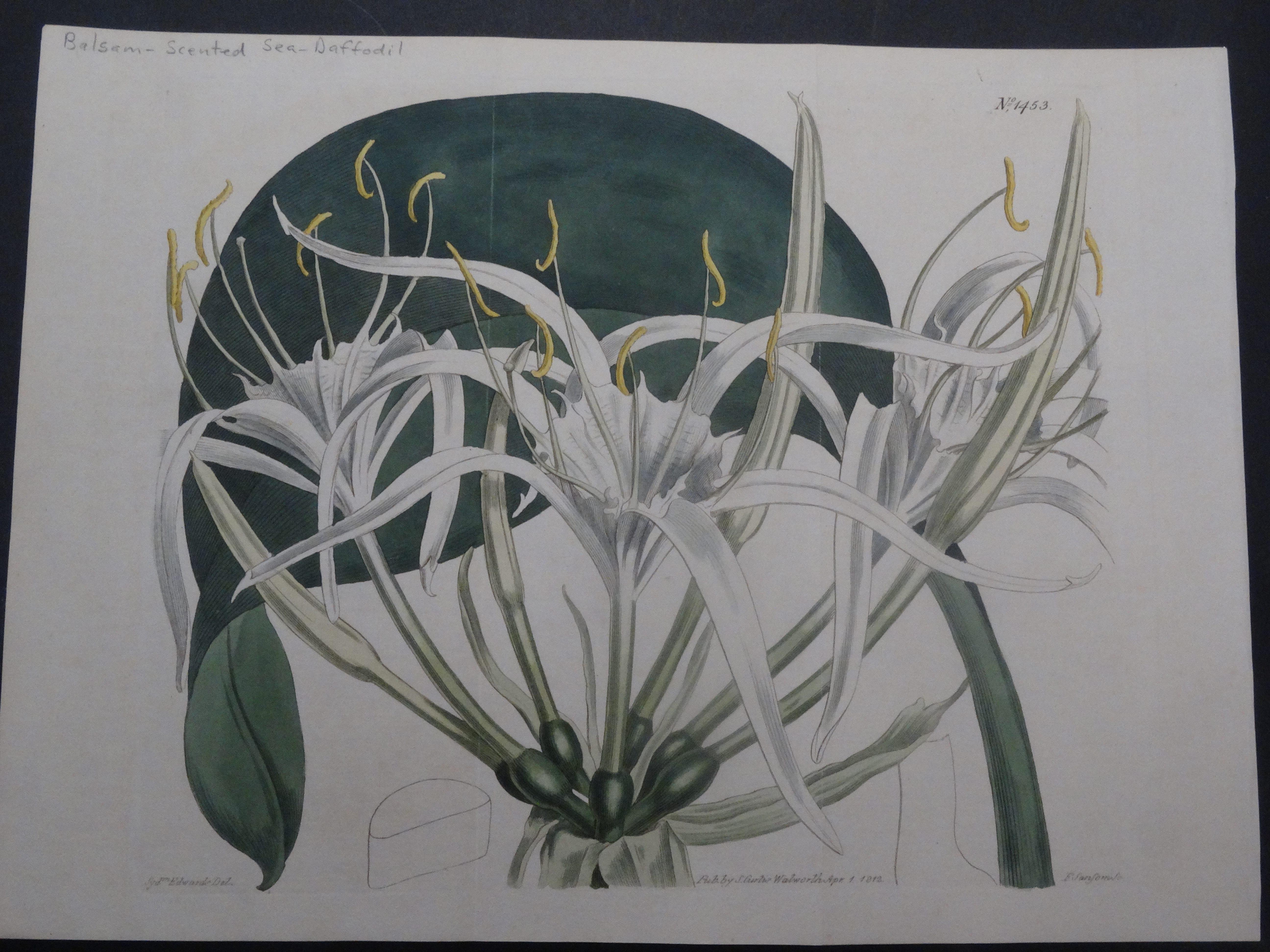 Curtis Sea Daffodil SL1453