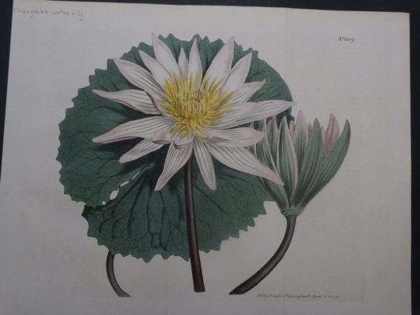 19th century engraving from the Botanical Magazine. Curtis Water Lily SL1189