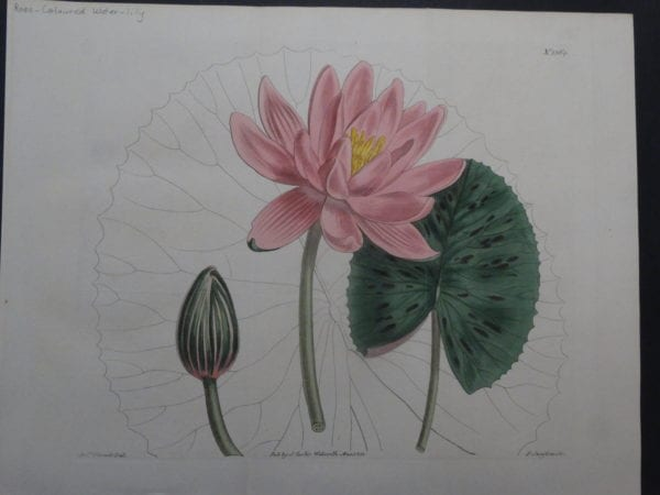 19th century engraving from the Botanical Magazine.  Curtis Water-Lily SL1364