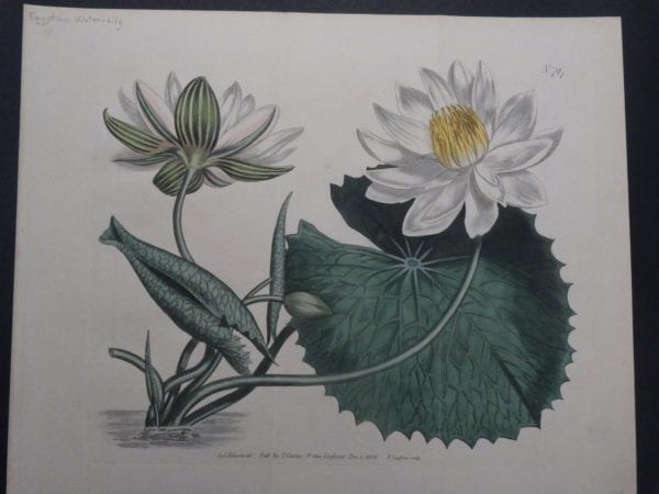 19th century engraving from the Botanical Magazine. Curtis Water-Lily SL797