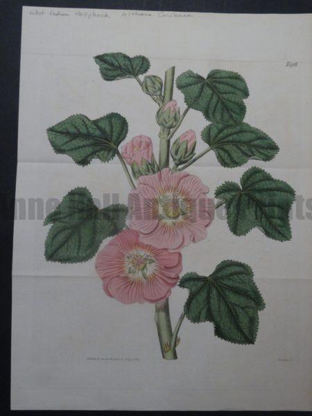 Curtis West Indian Hollyhock Plate 1916